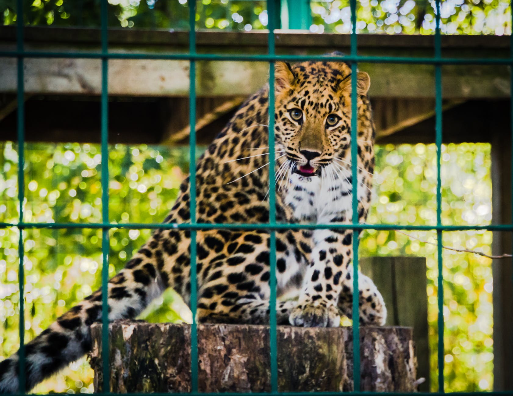 photo of leopard inside the cage